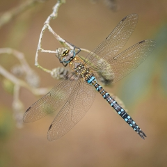1st Place_Migrant Hawker Dragonfly_by_Jonas, Tim