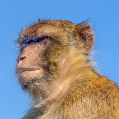 Commended_Ape Of Gibraltar_by_McMillen, Ian