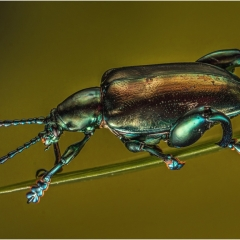 Green Frog Legged Beetle_by_Wells, Peter