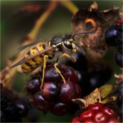 Vespula Vulgaris - Common Wasp_by_Sallett, Sally