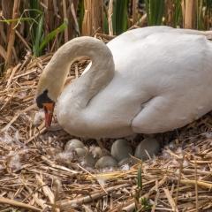 08-Nesting-Swan