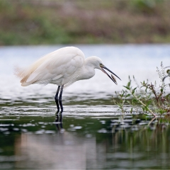 Commended - Little Egret With Food by Paul Wagstaff