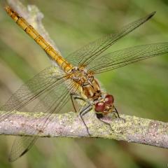 Common - Darter Dragonfly by Tim Jonas