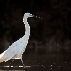 2nd Place_Little Egret_by_Wagstaff, Paul