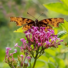 Highly Commended_Comma Butterfly_by_Scarlett, Neil