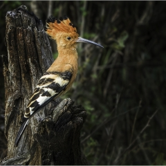 Highly Commended_The Hoopoe_by_Wells, Peter