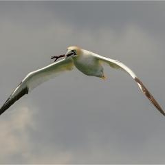 Nesting Gannet_by_Kershaw, David