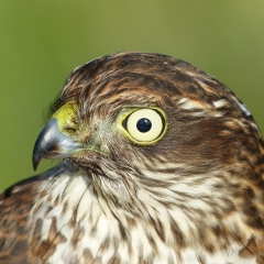 Highly Commended - Hawk Eye by Brian Lee