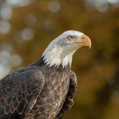 1st Place - Bald Eagle by Trevor Jones