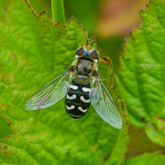 WHITE_CLUBBED_HOVERFLY