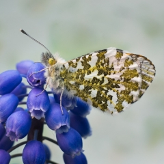 Orange Tip on Grape Hyacinth by Steve Wood