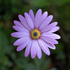 2nd - Osteospermum by Tim Jonas