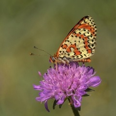 Spotted Fritillary Nectaring - Dingwall