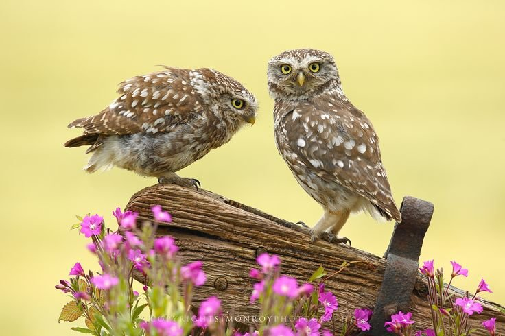 A special moment as a pair of wild adult Little Owls (Athene noctua) interact on an old gate post. Shot through wild flowers besides a field of summer Barley. York, North Yorkshire, UK, July