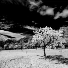 Apple-Blossom-infrared-by-Neil-Clarke
