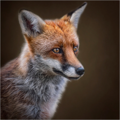 Highly-Commended_Fantastic-Mr-Fox_by_Michelle-Howell