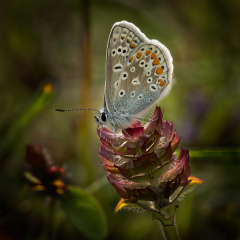 HIGHLY COMMENDED_Common Blue_by_Sally Sallett