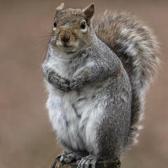 Commended_Grey-Squirrel_by_Jeffrey-Cummins