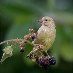 Highly-Commended_Greenfinch-On-Bramble_by_Michelle-Howell