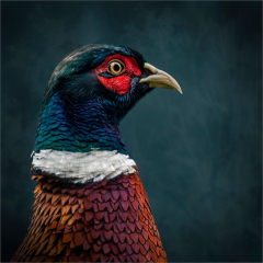 Third-Place_Pheasant-Portrait_by_Michelle-Howell