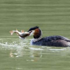 Highly Commended - Hungry-Grebe-by-Alan-Lawrence