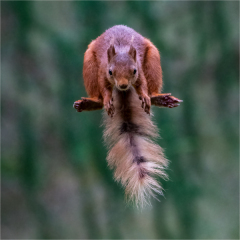 Highly Commended - Squirrels-Leap-by-Michelle-Howell