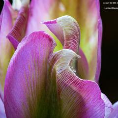 Ken-Payne_Pink-Tulip