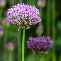 Commended - Allium by Peter Wells