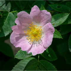 2nd Place - Wild Rose by Angela Crutchley-Rhodes