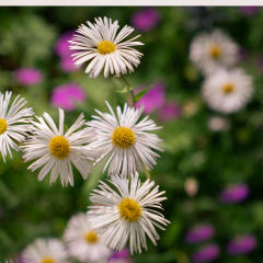 Common-Daisies_by_Neil-Carter