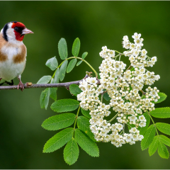 Highly Commended - Goldfinch-In-My-Garden_by_Michelle-Howell