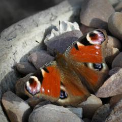 Peacock-butterfly_by_Daniel-Jeffery