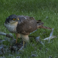 Sparrowhawk_by_Jeffrey-Cummins