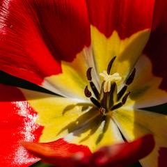 Tulip_by_Steve-Womack