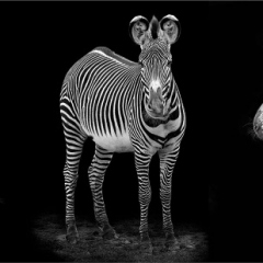 1st-Place_Zebra-by-Michelle-Howell