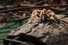 Tarantula 1 small